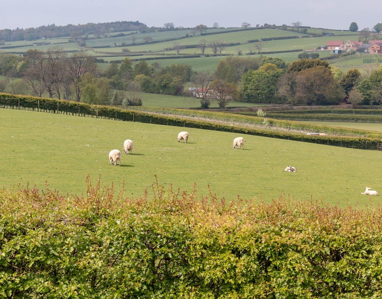 Grazing sheep in field