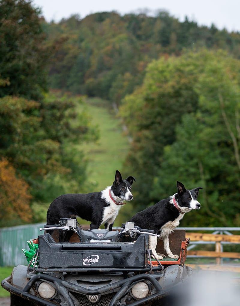 Dogs on quad bike